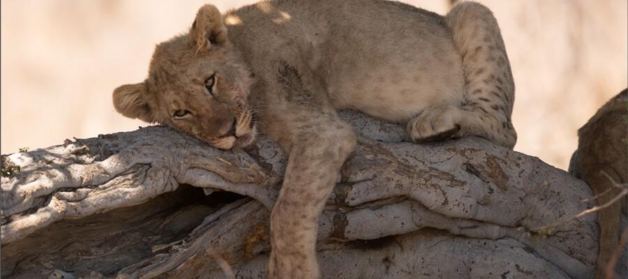 löwen-töten