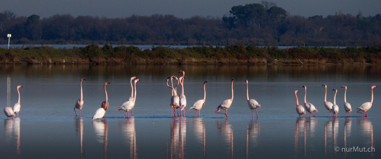 camargue-südfrankrecih-flamingos