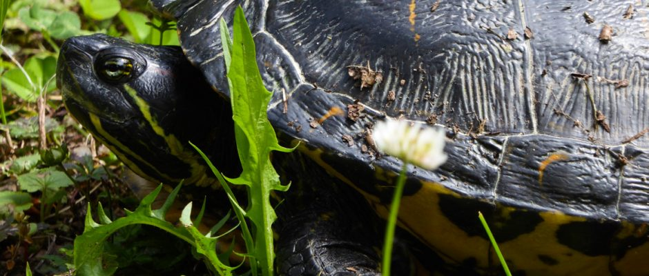schildkroete-burkheim-rappennestgiessen-naturschutzgebiet-gelbwangenschildkroete