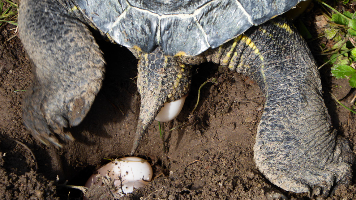 schildkroete-eierlegen-burkheim-rheinaue