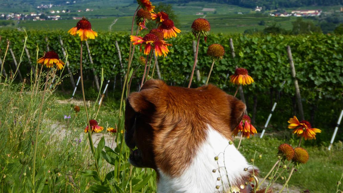 burkheim-monet-hund-blumen