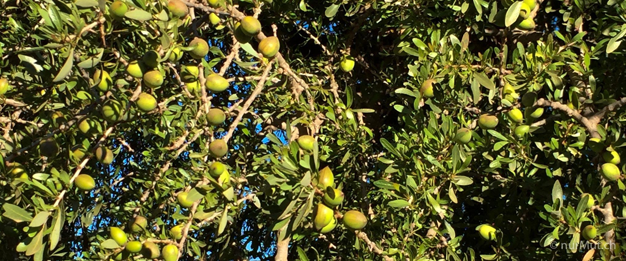 marokkanische Berber-arganbaum-argan-arganfruechte