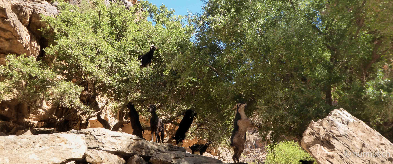 marokkanische Berber-arganbaum-arganfruechte-ziegen-ziegen in arganbaum