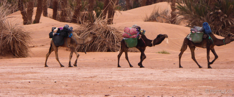 im winter in marokko-nurmut-mhamid-erg chegaga-dromedare-karawane