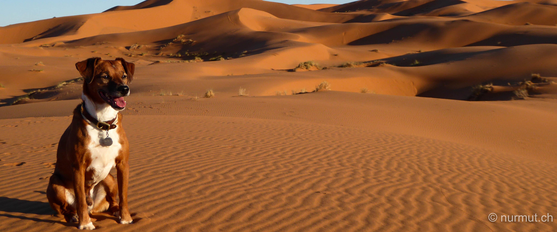 im winter in marokko-nurmut-erg chebbi-sandduenen-monet in der wueste- monet im erg chebbi-hund im erg chebbi