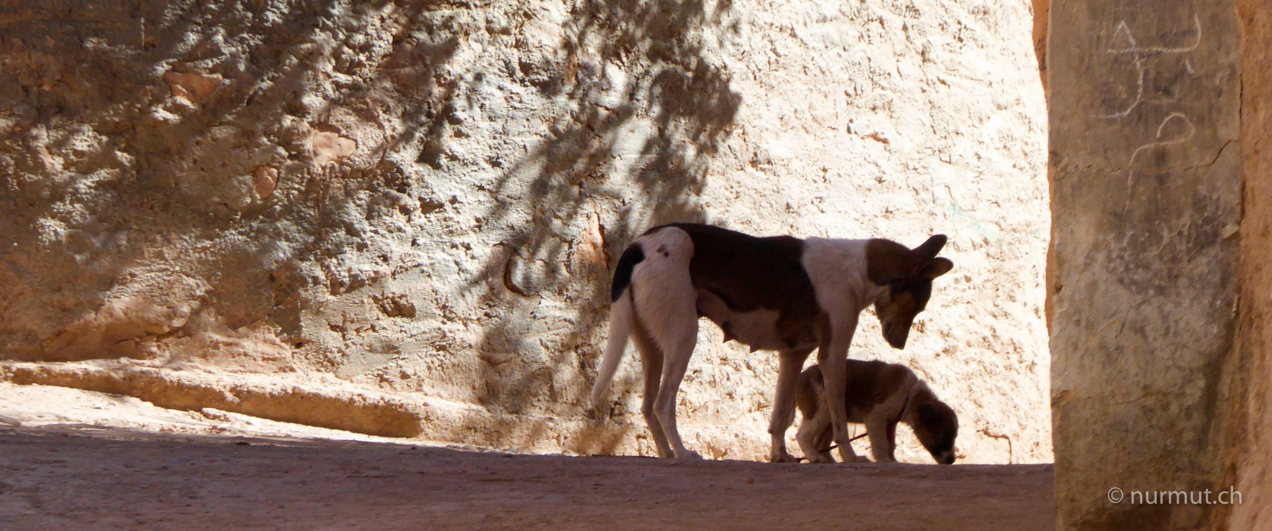 marokkoreise mit hund-marokko mit hund-marokko-infos marokko mit hund- wilde hunde in marokko-nurmut