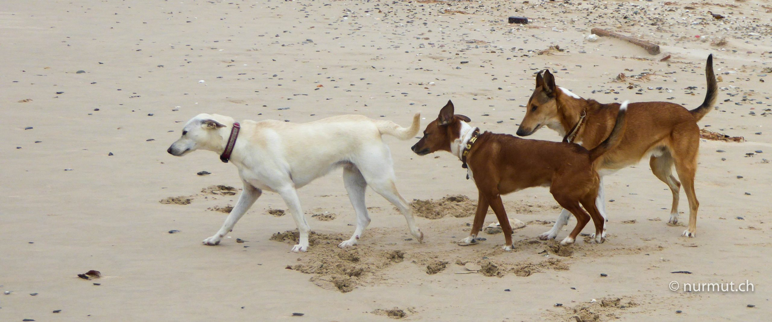 tarifa-strand-hund